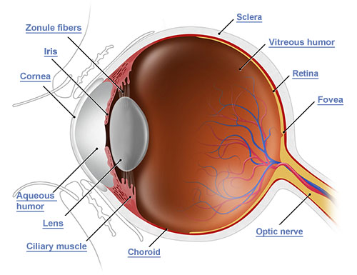 Anatomy of the Eye | Vision Direct UK