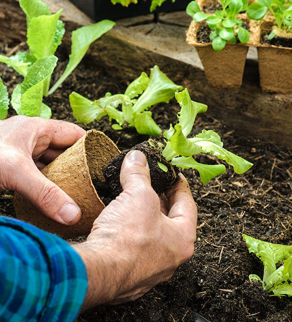 Repotting small plant in garden