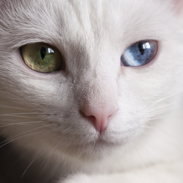 Cat heterochromia