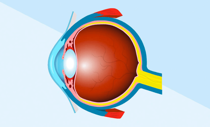 Een tekening van een doorsnede van het menselijk oog